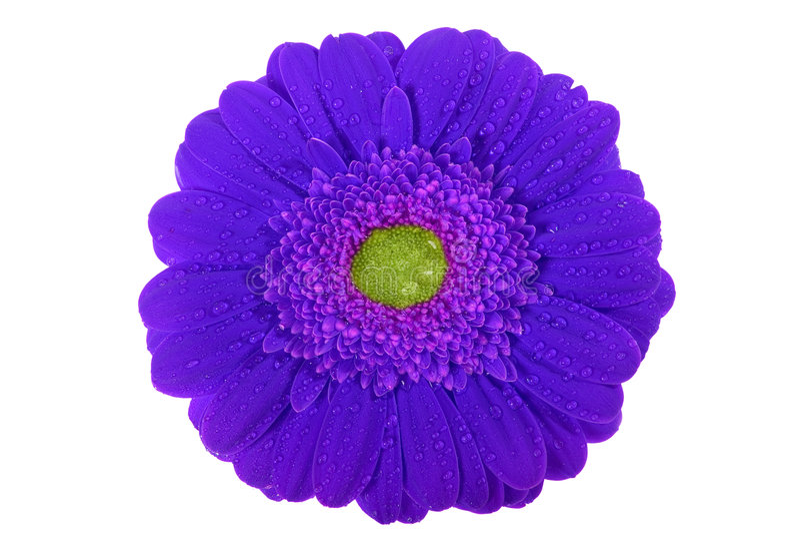 Gerbera, Valentim, flor imagens de stock royalty free