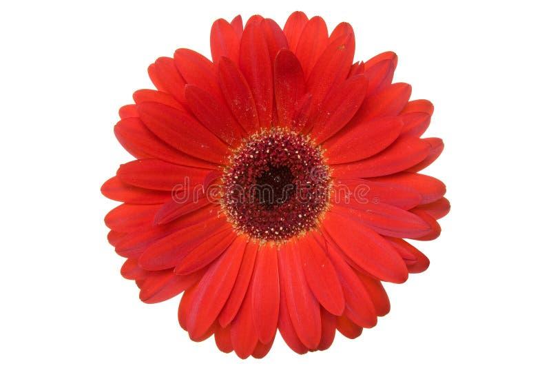 Gerbera vermelho. imagens de stock