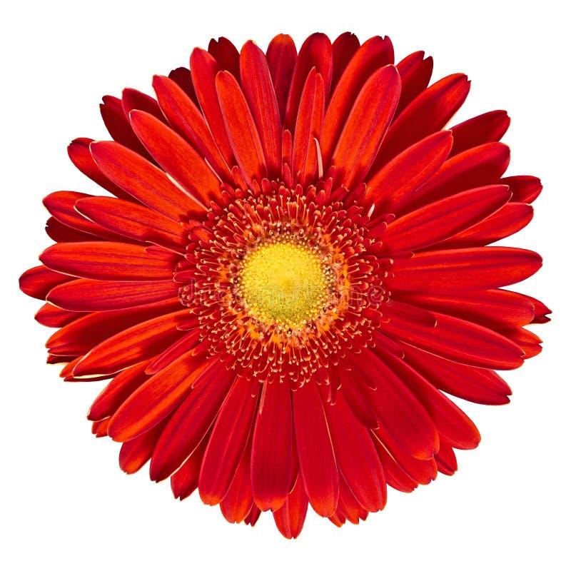 Gerbera vermelho-amarelo da flor interna isolado no fundo branco Close-up Macro foto de stock royalty free