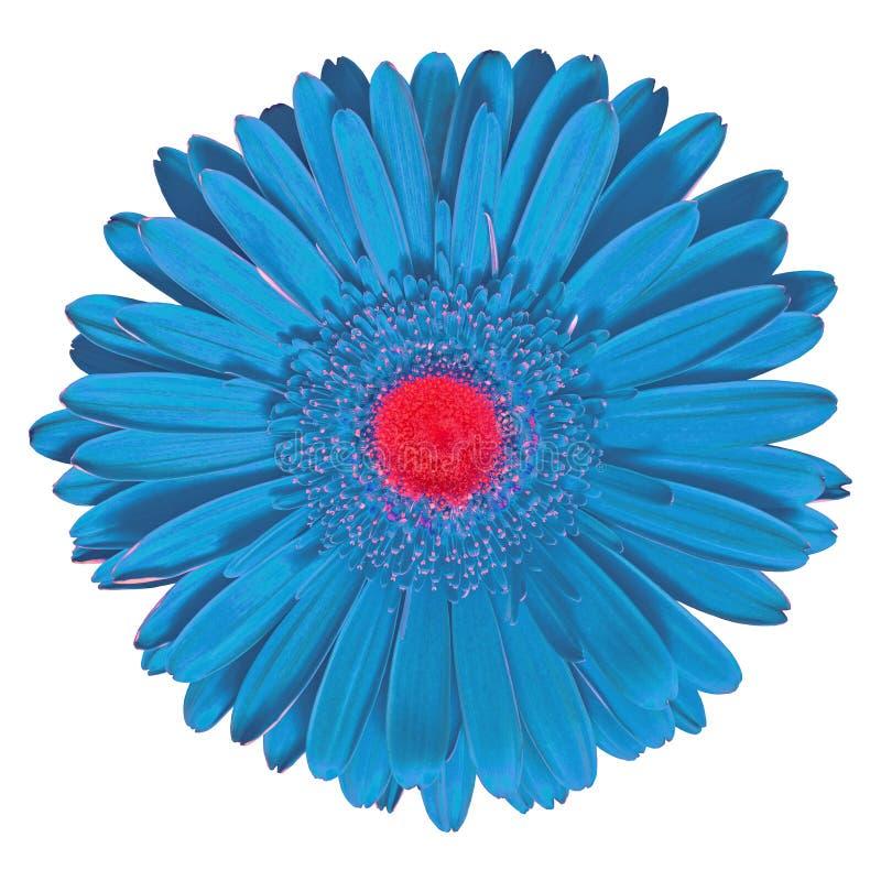 Gerbera vermelho ciano da flor interna isolado no fundo branco Close-up Macro Elemento do projeto fotos de stock