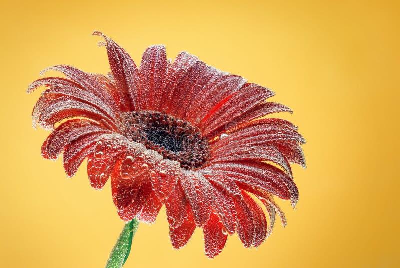 Gerbera vermelho da flor com bolhas fotos de stock royalty free