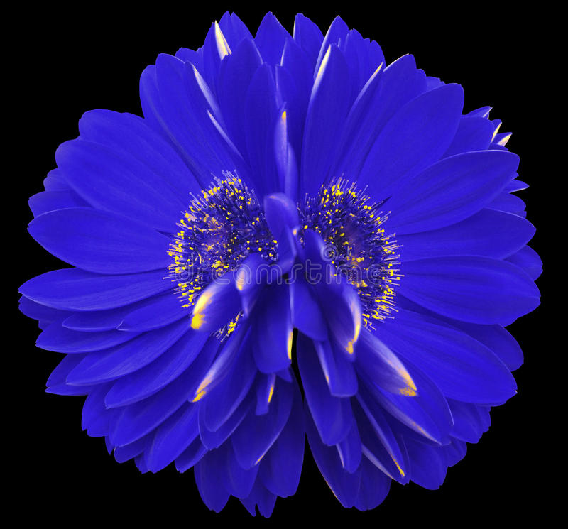 Gerberablommablått closeup härlig blomma två Svart bakgrund fotografering för bildbyråer