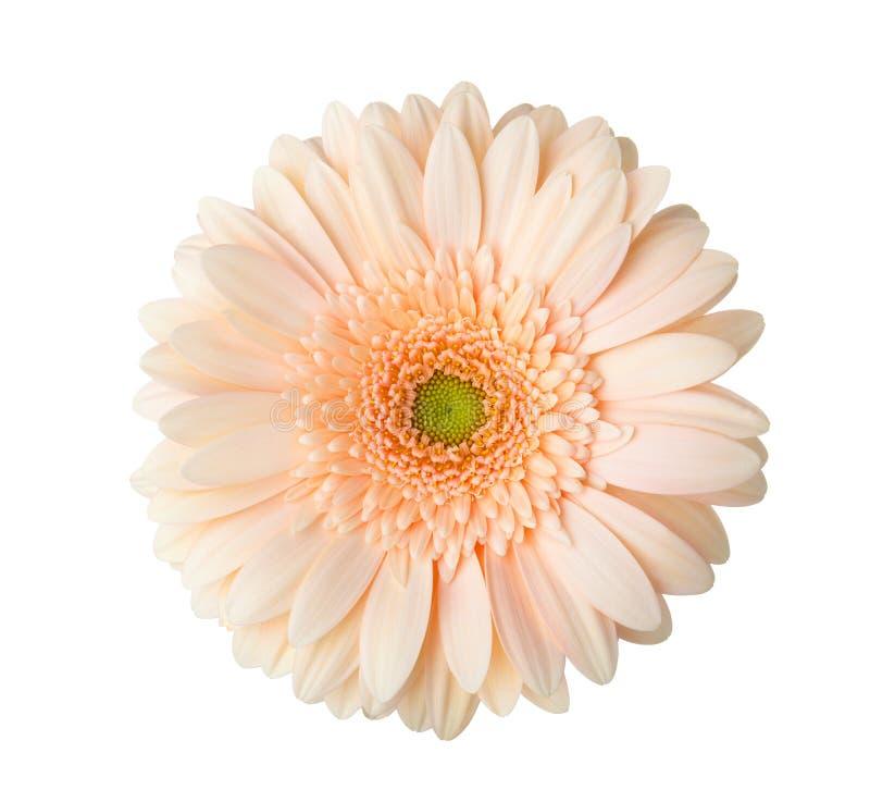 Gerberablume der Aprikosenfarbe lokalisiert auf weißem Hintergrund lizenzfreie stockfotografie