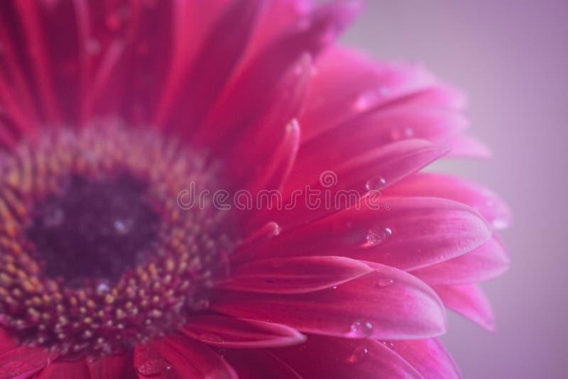 Gerberablume schön und violetter Tropfenhintergrund der Blüte stockfoto
