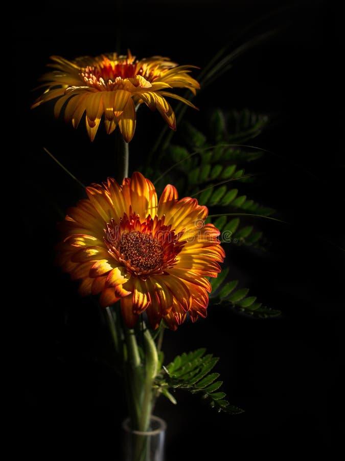 Gerberablumen in der Blüte lizenzfreie stockfotografie