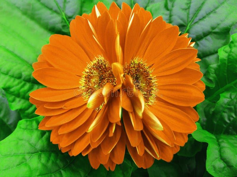 Gerberaen blommar apelsinen closeup härlig blomma två Grön bakgrund royaltyfri fotografi