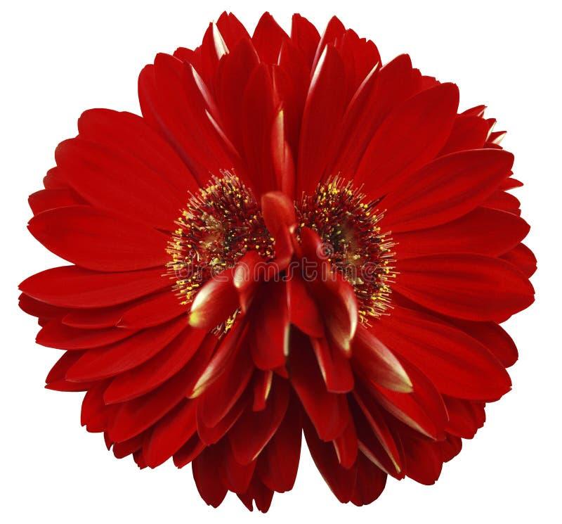 Gerberaen blommar rött closeup härlig blomma två Vit bakgrund arkivbilder