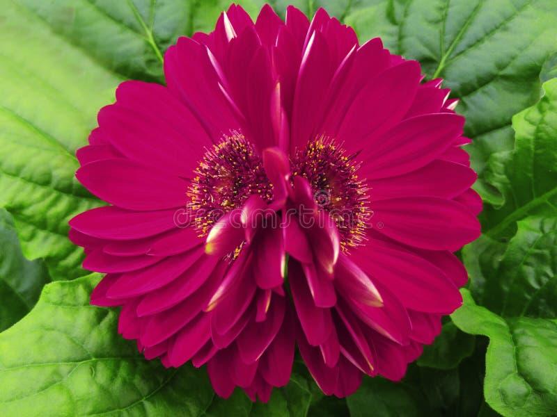 Gerberaen blommar rosa färg-karmosinrött closeup härlig blomma två Grön bakgrund royaltyfri foto