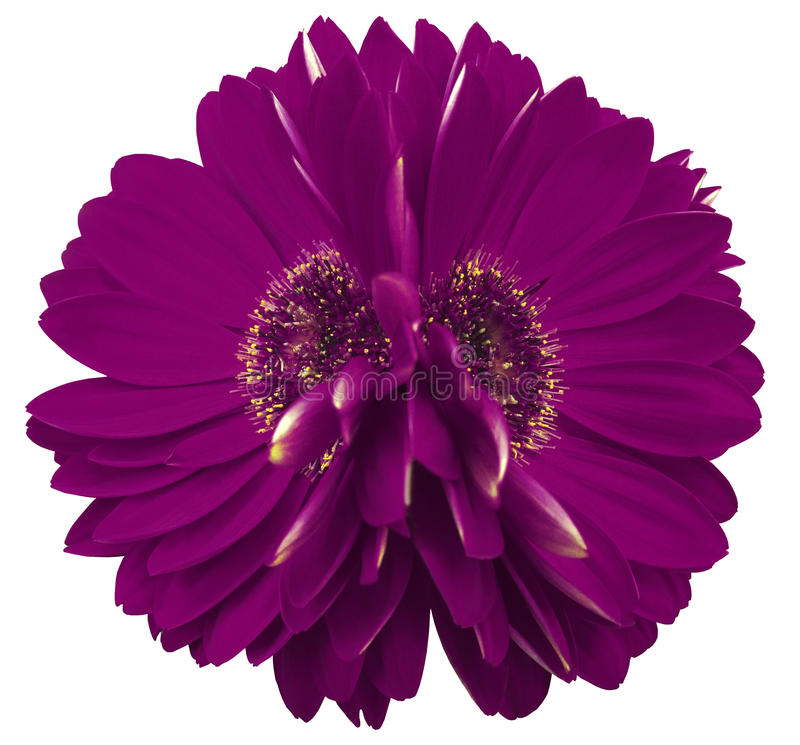 Gerberaen blommar violeten closeup härlig blomma två Vit bakgrund royaltyfri bild