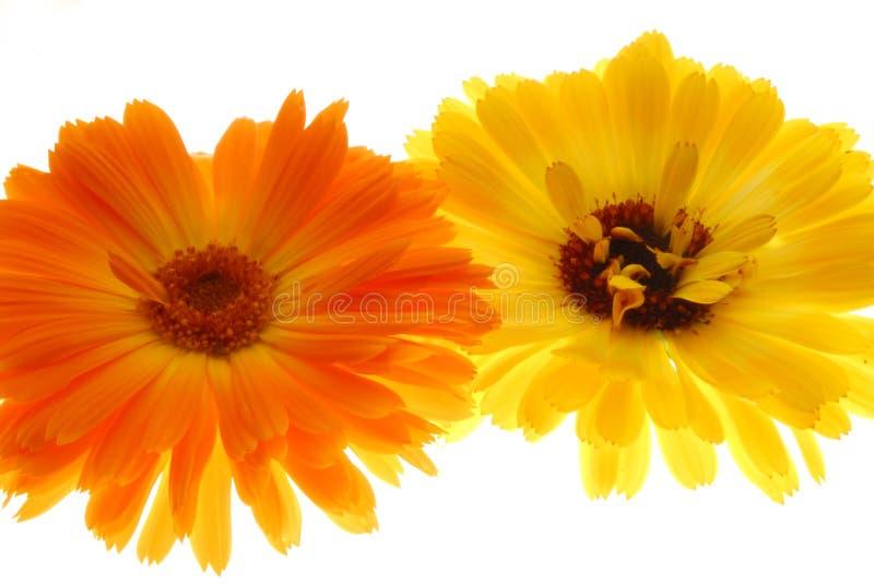Gerberas anaranjados y amarillos foto de archivo libre de regalías