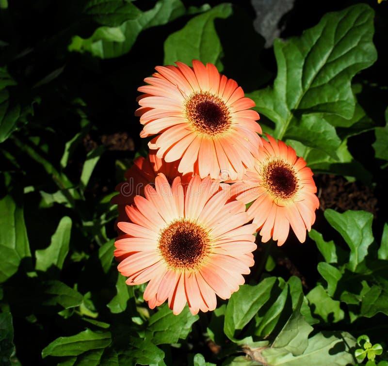 Gerberas in der Blüte stockfotografie