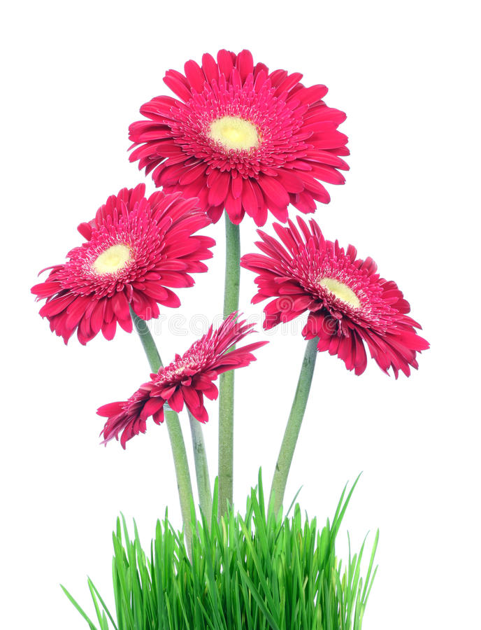 Free Gerberas In Grass Royalty Free Stock Photo - 12990955