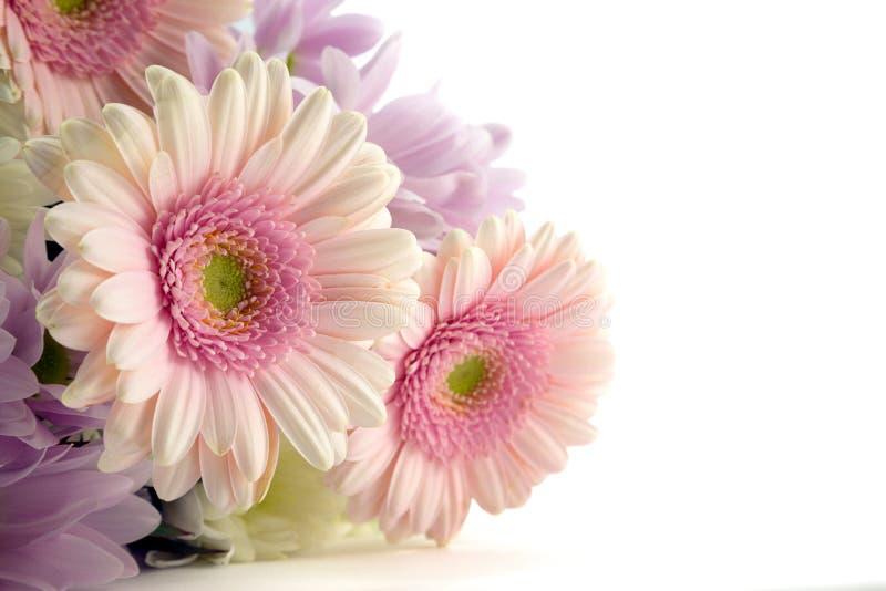 Gerberas rosados. imagen de archivo