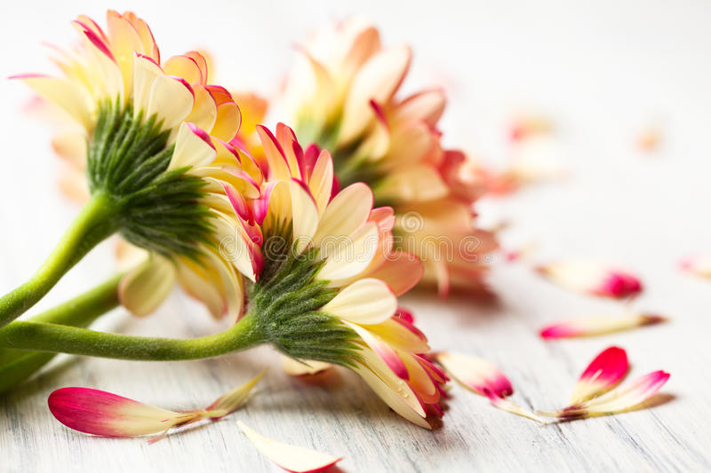 Gerberas on white wooden background royalty free stock photos