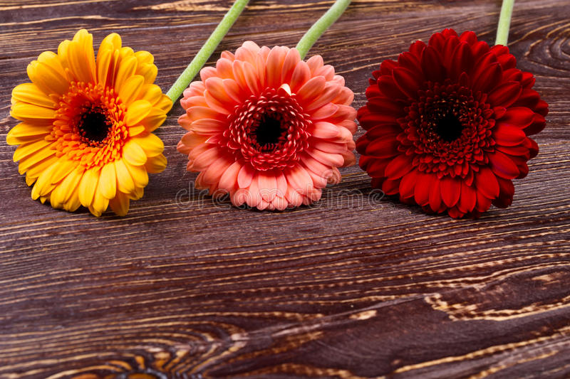 Gerberas on wooden background. Colorful bloom on wooden surface. Symbolic meaning of flowers. Gift from nature royalty free stock images