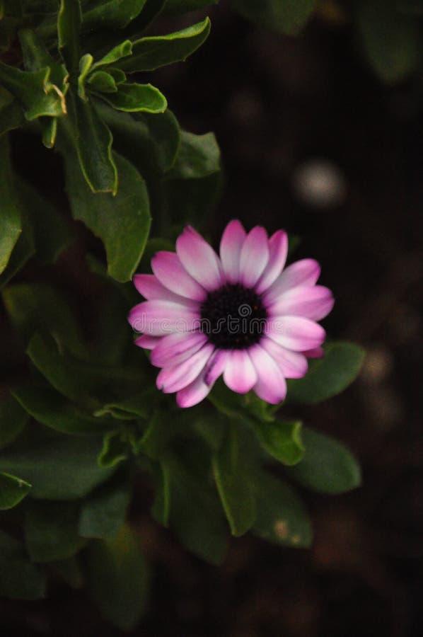 Gerberasoort installaties in Asteraceae ( madeliefje family) , stock foto's