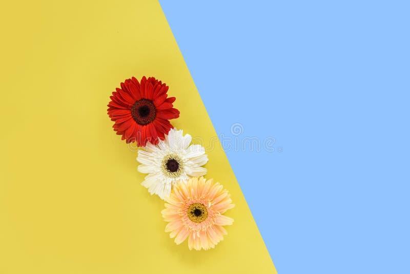 Gerberavårblommor som är nya på den tropiska växten för blommaramsammansättning på härlig färgrik blå och gul bakgrund arkivbilder