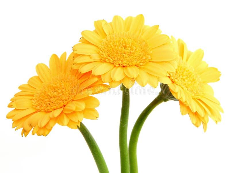 gerberayellow för 2 blommor arkivbild