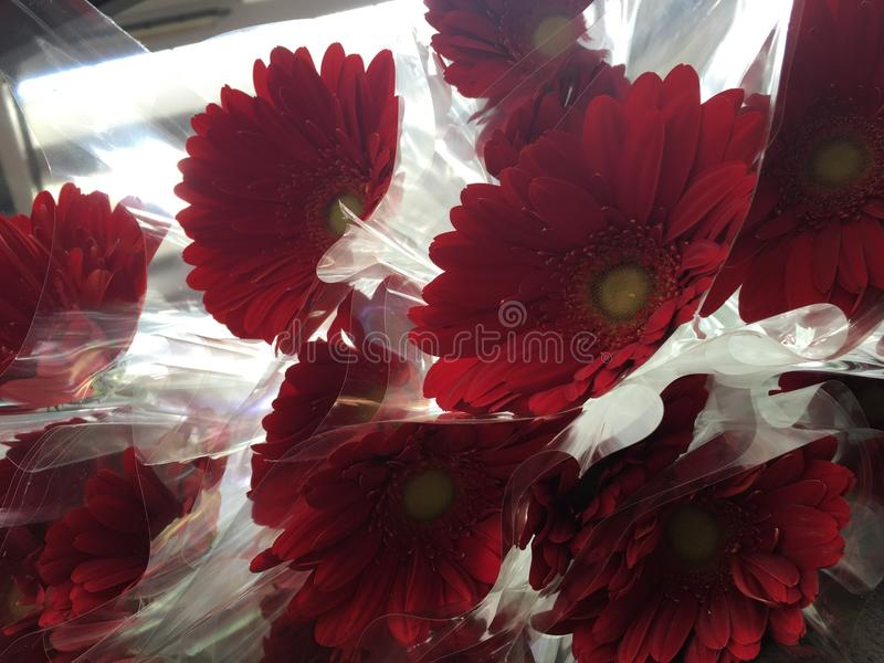 Gerbere red stock image