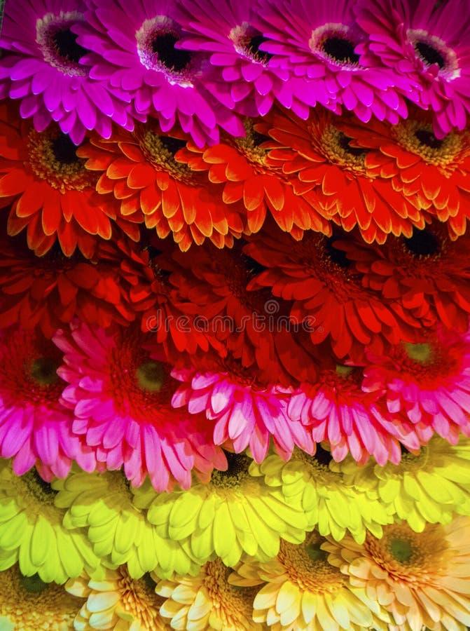 Gerbere variopinte del fondo floreale fotografia stock
