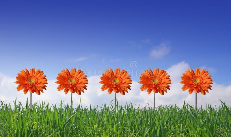 gerbers предпосылки засевают небо травой стоковое фото rf