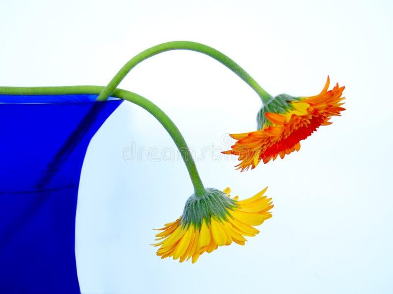 Gerbers en el florero azul imagenes de archivo