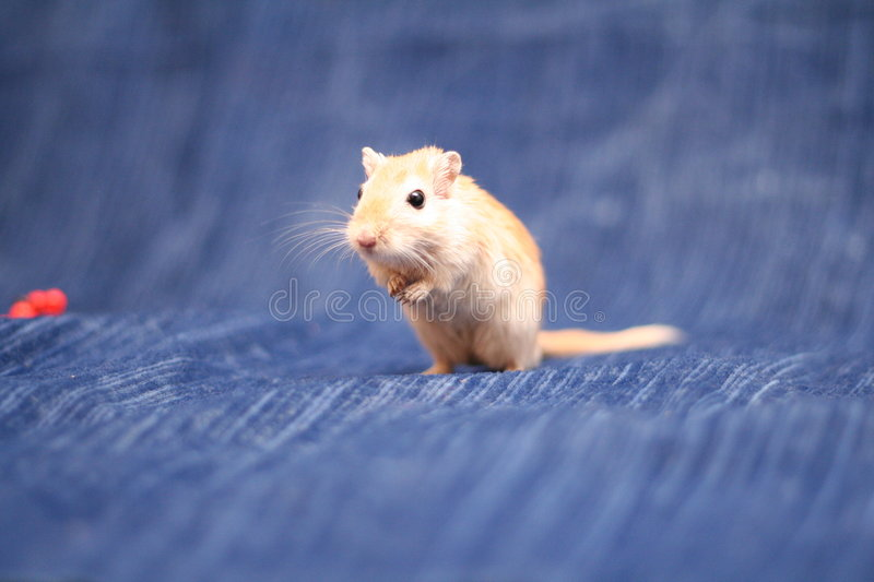 Download Gerbil Royalty Free Stock Images - Image: 1412729