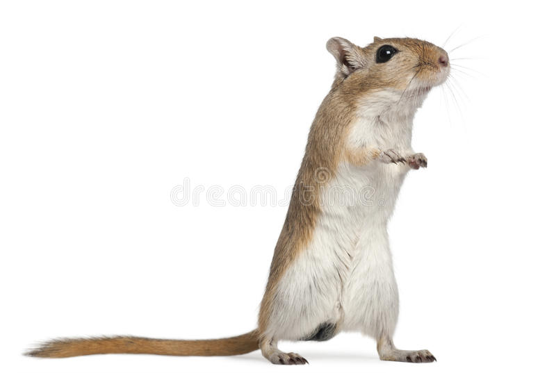 Download Gerbil, 2 Months Old, In Front Of White Background Stock Image - Image: 21997463