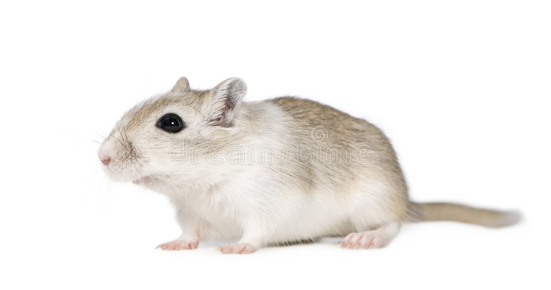 Gerbil. In front of a white background stock photo