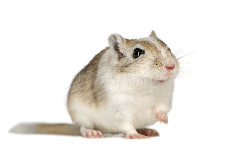 Gerbil. In front of a white background stock images