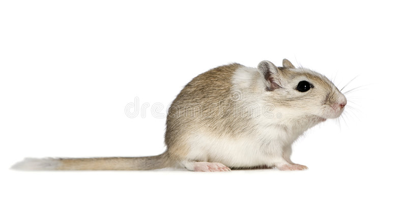 Gerbil. In front of a white background royalty free stock images
