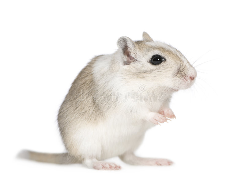 Gerbil. In front of a white background stock photos