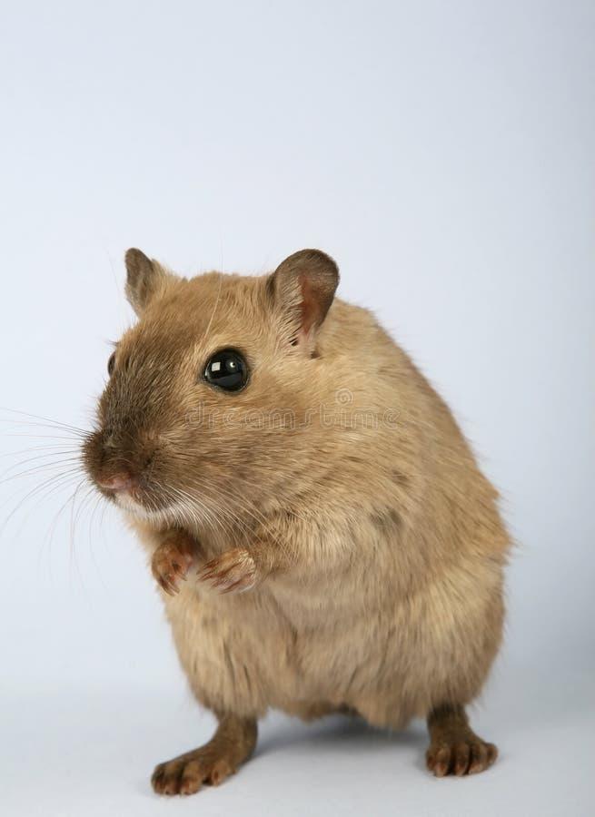 Gerbil, fauna, mysz, ssak zdjęcia stock