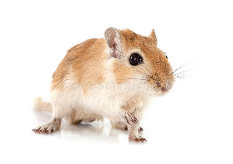 Gerbil. Little gerbil in front of white background royalty free stock photos
