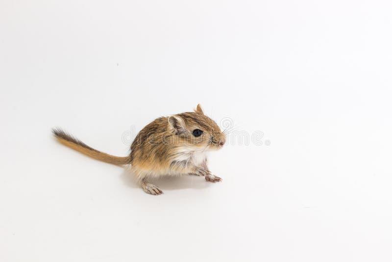 Download Gerbil Mongol D'ordures, Rat De Désert Image stock - Image du mammifère, noir: 87709547