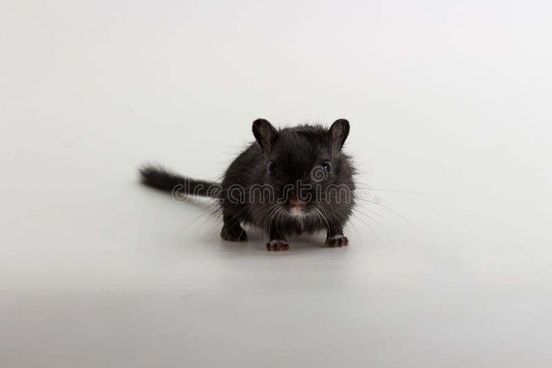 Download Gerbil Mongol D'ordures, Rat De Désert Image stock - Image du chéri, mammifère: 87709577