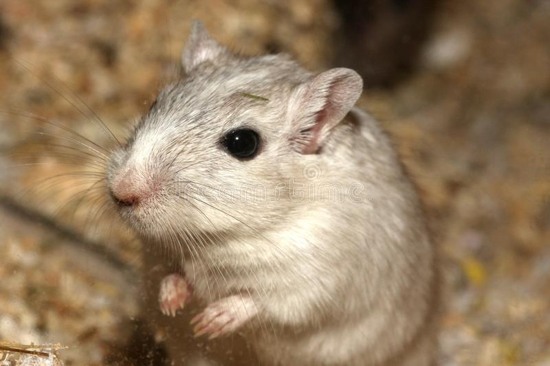 Gerbil, Mouse, Muridae, Fauna royalty free stock photography