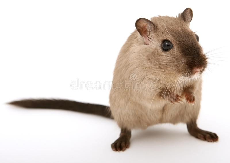 Gerbil, Mouse, Muridae, Mammal royalty free stock photography