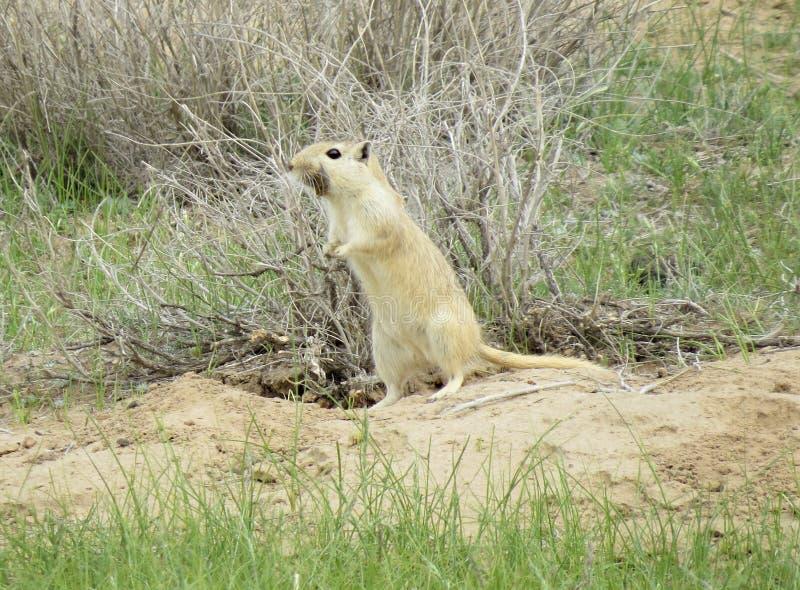 Gerbil w piaskowatej pustyni blisko Talimarjon, Guzar Dtsrtict, Uzbekistan Kwiecień 9 2014 zdjęcia stock