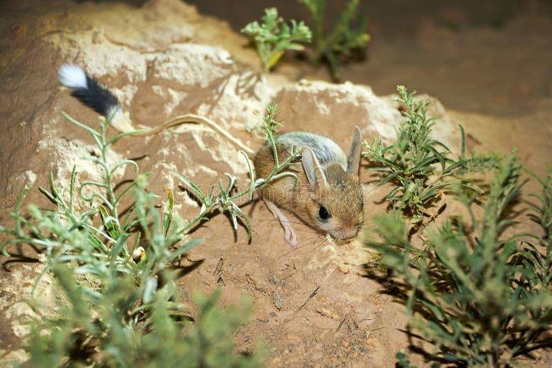 Gerboise/Jaculus La gerboise sont un animal de steppe et mènent une vie nocturne photos libres de droits