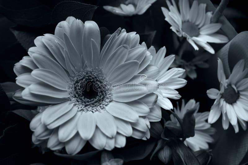 Download Gerbra image stock. Image du fleur, noir, amour, blanc, marguerites - 84749