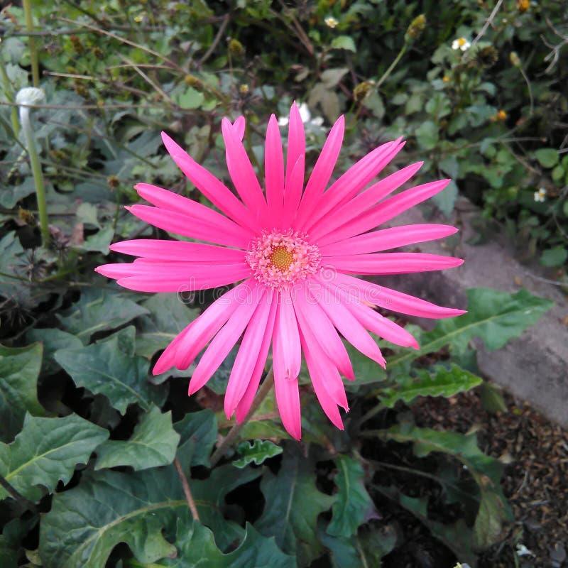 Gerbra de roses indien photos libres de droits