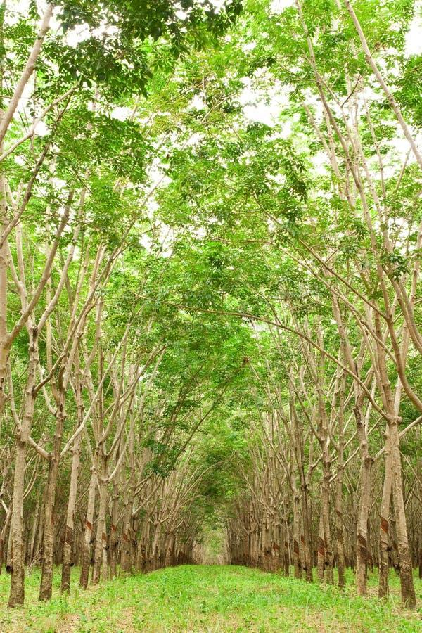 gerdenning вал Таиланда резины para стоковая фотография rf