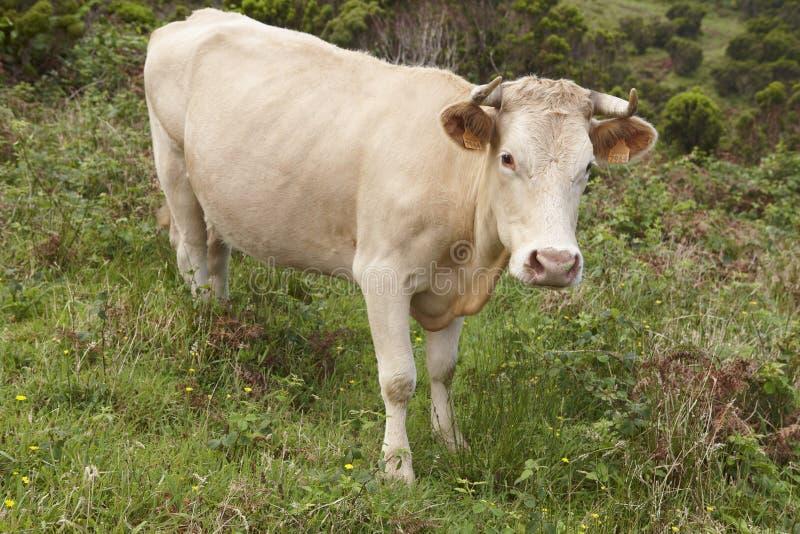 Geregistreerde koe op het platteland in Flores-eiland De Azoren, Haven stock afbeeldingen