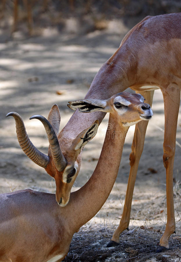 Gerenuk royaltyfria bilder