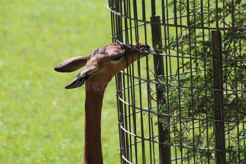 Gerenuk στοκ φωτογραφία