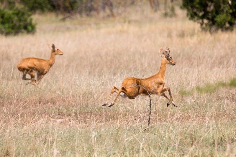 Gerenuk Antelope on the Run. A pair of Gerenuk Antelope on the run from dangerous predators seen on safari in saadani national park, Tanzania stock image