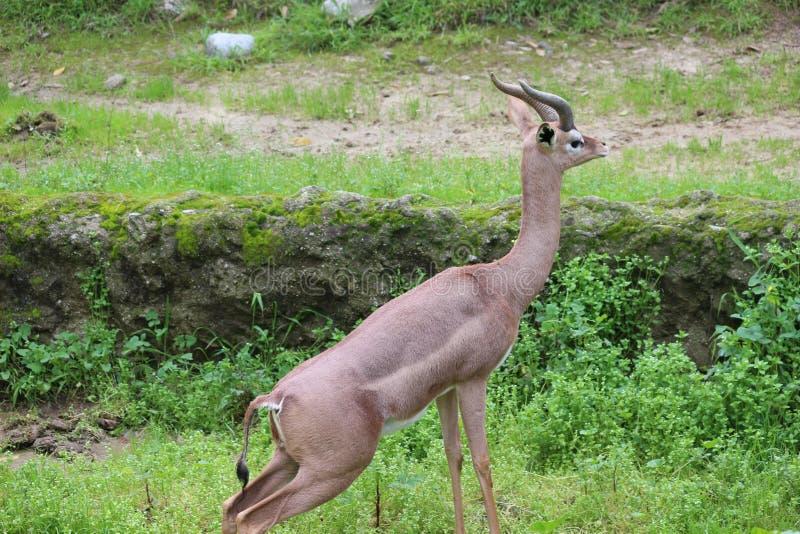Gerenuk lang uitrekken zich stock foto