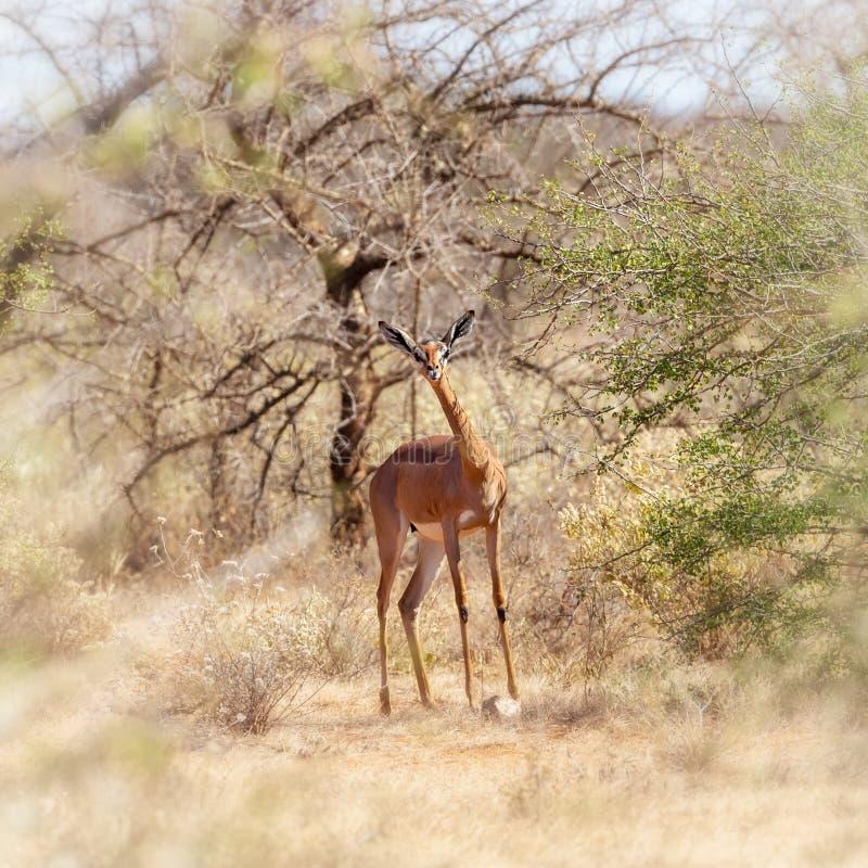Gerenuk, o gazzella della giraffa, nel parco nazionale di Amboseli immagini stock libere da diritti