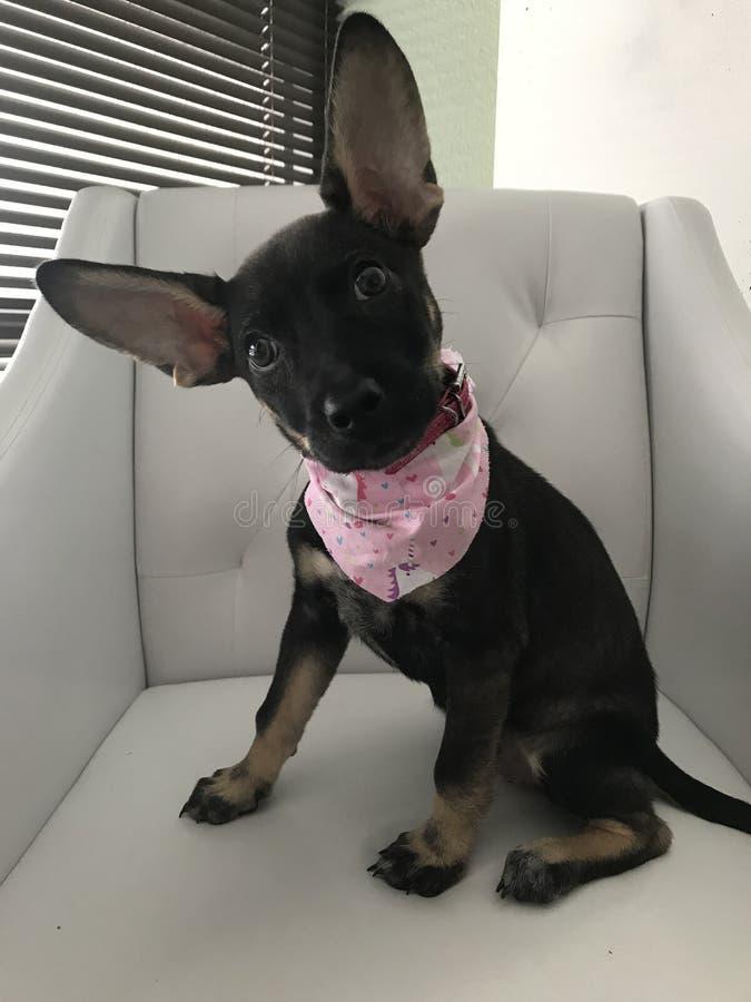 Gerettete Streuschutz-Hundeenorme Ohren lizenzfreie stockbilder